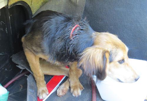 Cachorro gravemente ferido é resgatado de chácara em Londrina, PR