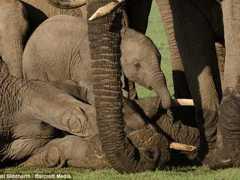Bebê elefante chora a morte da mãe atingida por caçador