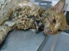 Antes e depois: Suipa recupera gato colado em lata