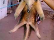 Tamanduá-mirim, saguis e jabutis são resgatados de cativeiros no RN