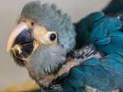 Criadouro científico consegue inédita reprodução de ararinha-azul em cativeiro