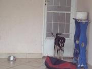 Moradores denunciam maus-tratos a cão acorrentado em Campinas, SP
