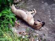 Cão é achado enforcado em árvore e com focinho amarrado em Piracicaba, SP