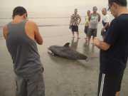 Golfinho é encontrado morto na praia de Santos, SP