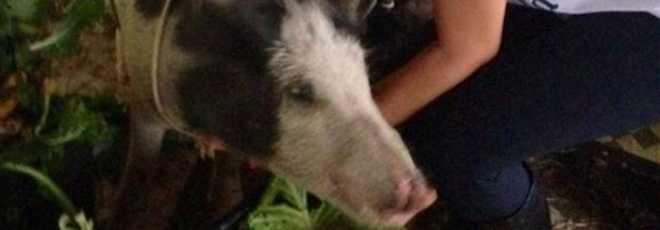 'Peppa Pig' é resgatada por ativistas antes de ser abatida para o Natal