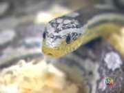 Traficante de animais vende cobra exótica pela internet no Brasil; vídeo