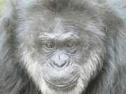 Santuário realiza campanha para tirar chimpanzé do zoo
