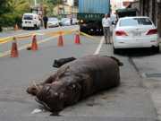 Hipopótamo salta de caminhão em movimento em Taiwan