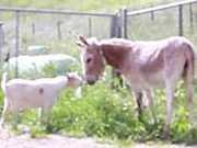 Amizade fiel: O reencontro de um bode e um burro que haviam sido separados