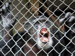 Corte de Nova York nega direitos de seres humanos a chimpanzés