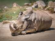 Morreu um rinoceronte do norte, restam apenas cinco