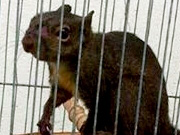 Esquilo recebe atendimento no Centro de Controle de Zoonoses de Peruíbe, SP