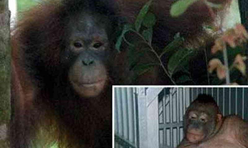 Orangotangos são usados em redes de prostituição na Ásia