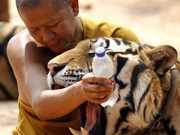 TAILANDIA thailand-tiger-temple2 thumb
