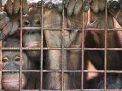 asia orangotango1 thumb m