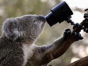 australia coala0