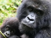 congo gorilas0