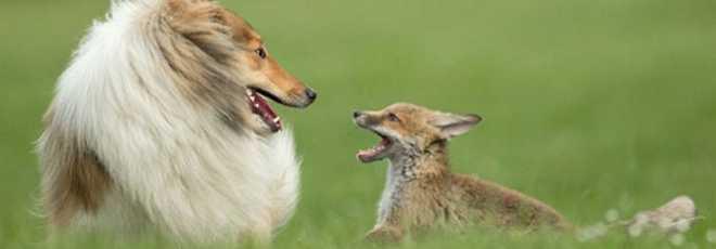 Cadela adota filhote de raposa que perdeu a mãe em acidente