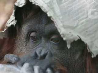 Tribunal argentino deve decidir destino de orangotango 'triste' de zoo