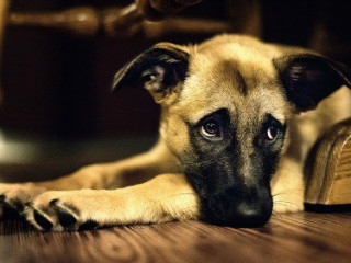 Empresas não podem sacrificar animais usados para segurança