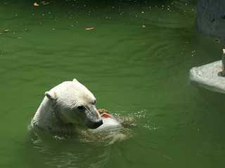 Grupo protecionista da vida animal exige fechamento do Zoológico Metropolitano do Chile após a morte de urso polar