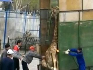 Funcionário de zoológico queima girafa com maçarico ao tentar libertá-la de um trailer de cavalos