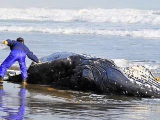 Chile baleiasmortas H