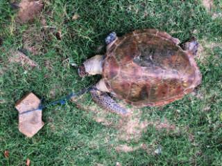 Polícia procura pescador acusado de amarrar tijolo em tartaruga em Vitória (ES)