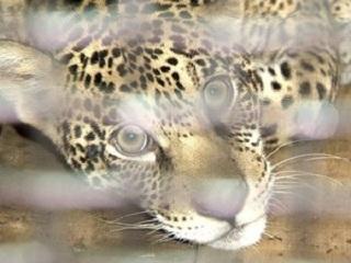 Ibama vai vistoriar zoológico após 'fuga' de onça, no ES
