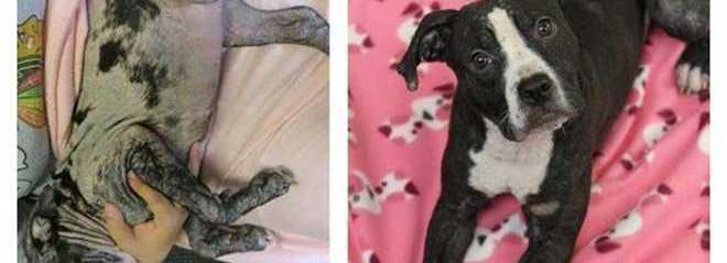 7 cães que sofreram mudanças inacreditáveis após resgate