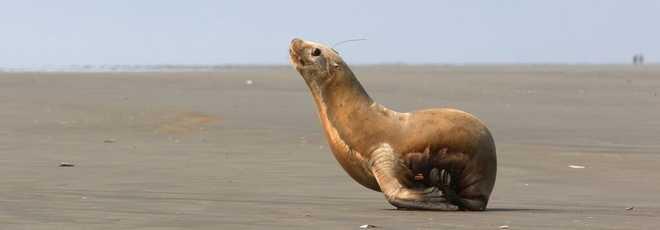 Leão-marinho órfão nada para o oceano após resgate nos EUA