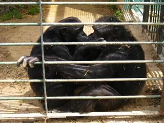 Casal de chimpanzés enjaulados paga caro por tentar ser livre na Espanha