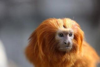 Filhos de macacos brasileiros são roubados de zoológico francês