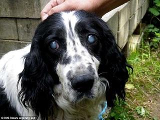 Cadela cega é deixada para morrer após ser abandonada amarrada sem água e comida na Inglaterra