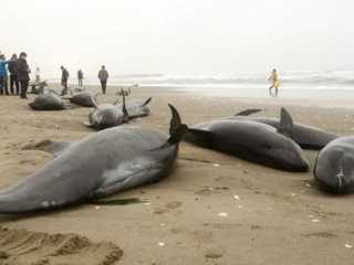 Caça aos golfinhos no Japão ameaça as Olimpíadas