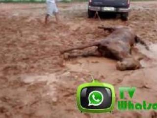 Cavalo morre de ataque cardíaco durante treino de vaquejada em Vitorino Freire, MA