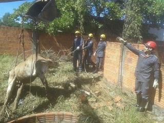 Vaca cai em fossa de cinco metros e é resgatada por bombeiros em Januária, MG