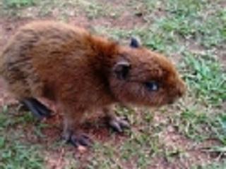 Autoridades omitem socorro a filhote de capivara em Três Lagoas (MS); população fica revoltada com o descaso