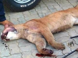 Funcionário de fazenda em MS é preso por caçar animal em extinção
