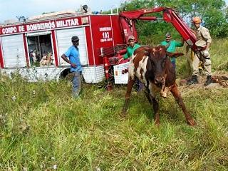 Bombeiros salvam vaca que caiu em fossa de seis metros em Mato Grosso do Sul