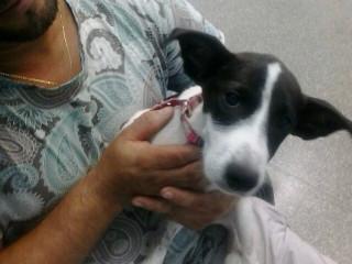Após campanha na web, cão recebe doação de sangue de pit bull em MT