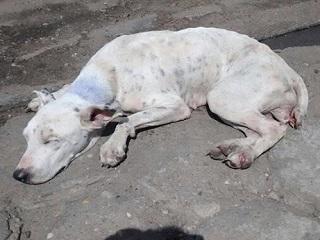 Estudante resgata cadela vítima de maus-tratos na avenida Gil Martins, em Teresina (PI)