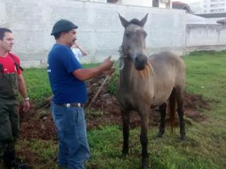 Cavalo é resgatado após ficar quatro dias preso em galeria pluvial em SC