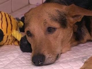 Falta de veterinários compromete atendimento do Samu para animais em Florianópolis, SC