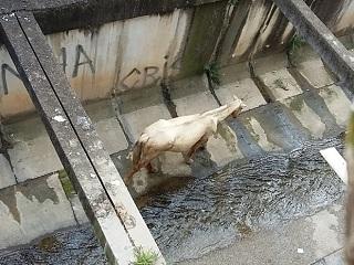 Moradores flagram cavalo dentro de córrego canalizado em Sorocaba, SP