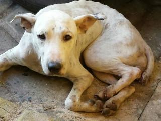 Cadela vítima de maus-tratos é achada com rabo cortado em Teresina