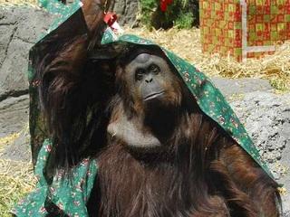 A luta pelo futuro de Sandra, o orangotango-fêmea do zoológico da Argentina