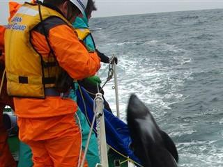 Caça ao golfinho 'expulsa' Japão da Associação Mundial Zoológicos e Aquários