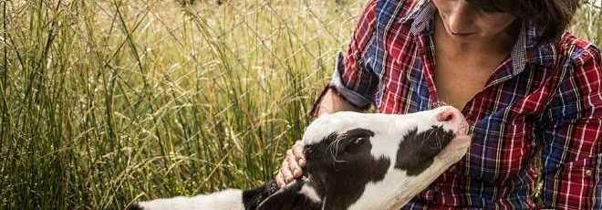 Pequeno bezerro resgatado da indústria de vitela agora recebe muito carinho
