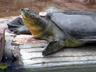 china tartarugacascomole H